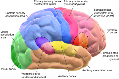 neocortex-2